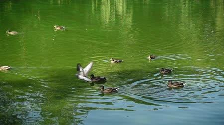 mallard : Ducks in a pond. Slow motion. Stock Footage