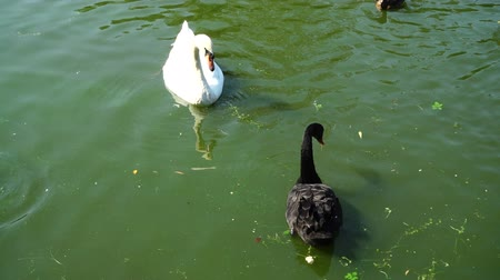 patinho : Ducks in a pond. Swans in a pond. Slow motion. Vídeos