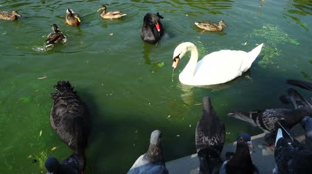 gaga : Ducks in a pond. Swans in a pond. Slow motion. Stok Video