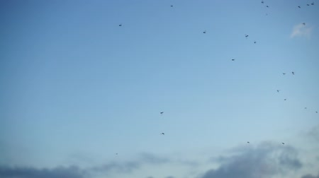 flying ants : Midges in the sky. Slow motion.