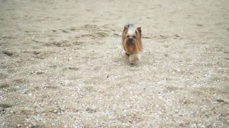 cubs : Yorkshire terrier on the seashore. Slow motion.