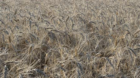 밝게 : Wheat fields