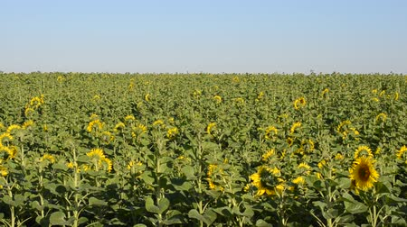pólen : Sunflower field