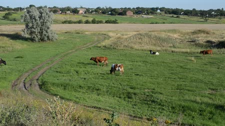 sereg : Cows on a meadow Stock mozgókép