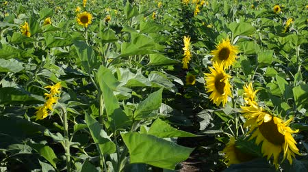 pólen : Field of sunflowers. Vídeos