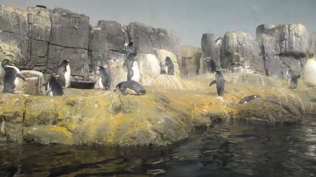 pinguim : Penguins in zoo