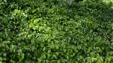 ivy : Japanese garden. Stock Footage