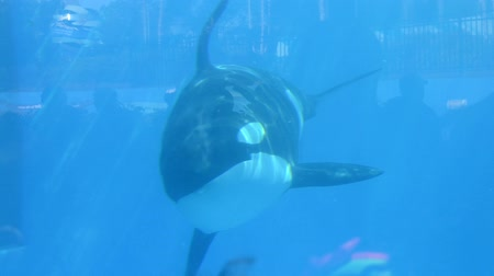 killer whale : Cephalorhynchus commerciate swim in the pool.