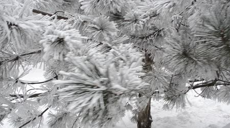 snow covered spruce : Winter park
