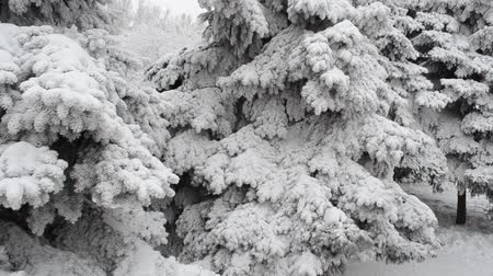 snow covered spruce : Winter park. Stock Footage