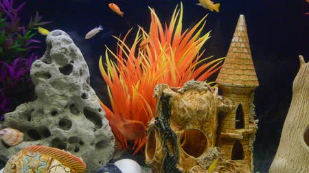 snag : Lots of Lake Malawi Cichlids (Cichlidae) swimming in a tank. Stock Footage