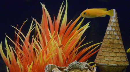 water display : Lots of Lake Malawi Cichlids (Cichlidae) swimming in a tank. Stock Footage