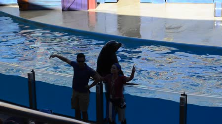 nadador : ORLANDO, USA - MARCH 25, 2014: Show of seals. Seals participate in show. SeaWorld is a parks of mammals, oceanariums and animals. California Sea Lion (Zalophus californianus). Stock Footage