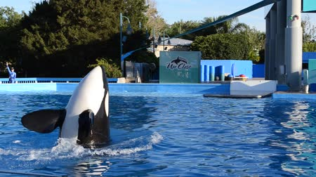 killer whale : ORLANDO, USA - MARCH 25, 2014: To killer whale in park. Commersons Dolphin (Cephalorhynchus commersonii).