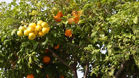 mandarynka : Orange tree in Spain Wideo
