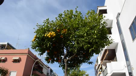 tangerina : Orange tree in Spain Vídeos