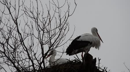 pecker : Stork in a nest.