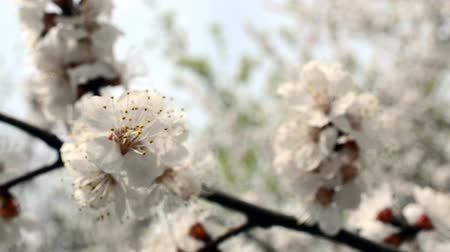 pólen : Fruit tree blossom close-up.