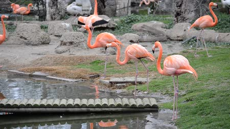 flamingi : Flamingo in zoo.