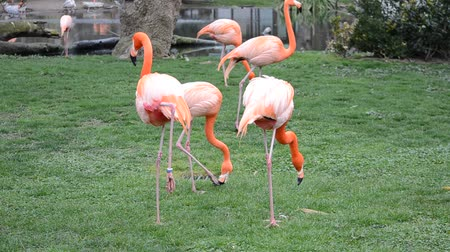 flamingi : Flamingo in zoo