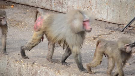 taranmamış : Monkeys in zoo. Stok Video