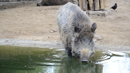 piglet : Madrid zoo, Spain. The boar drinks water.