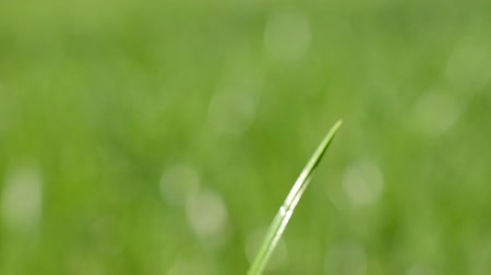 condensacion : Fresh grass with dew drops close up Archivo de Video