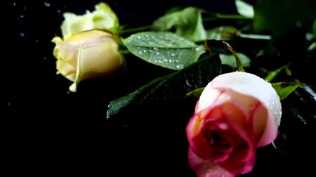 букет : The rose on a black background. Slow motion. Стоковые видеозаписи