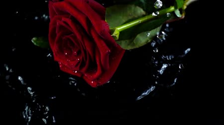 rose : The rose on a black background. Slow motion. Stock Footage