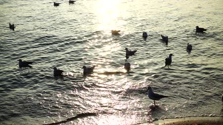 bird ecology : Seagulls in the sea. Slow motion. Stock Footage