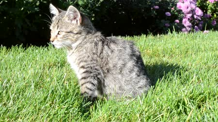kittens playing : The cat washes on a green grass