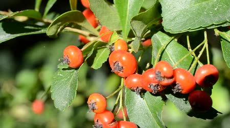 rowanberry : Berries on a tree branch.