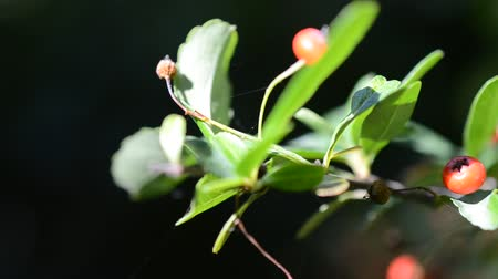 rowanberry : Berries on a branch.