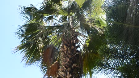 el değmemiş : palm tree Stok Video