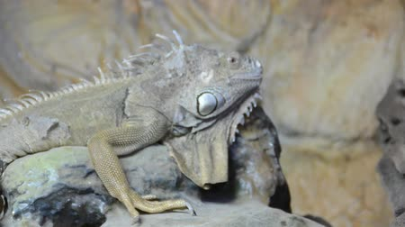lucertola : Iguana in uno zoo.