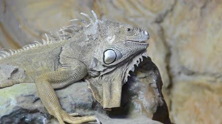 black iguana : Iguana in a zoo.