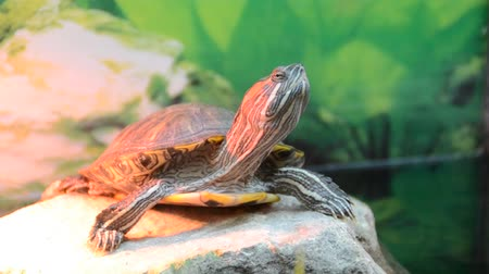 zeeschildpad : Turtle in een aquarium.