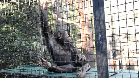 bámul : Chimpanzee in a zoo.