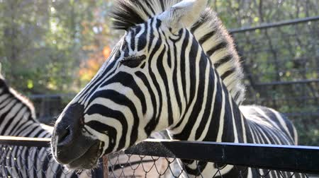ungulado : Zebra in a zoo.