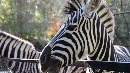 savanne : Zebra in einem Zoo. Videos