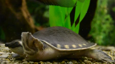 hüllő : Turtle in an aquarium. Stock mozgókép