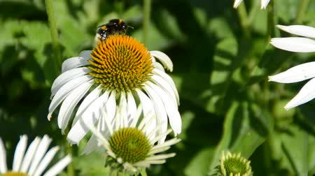 owady : Bee on a flower.