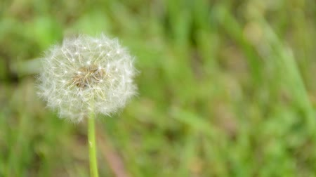 propagação : white dandelion on a green meadow close up