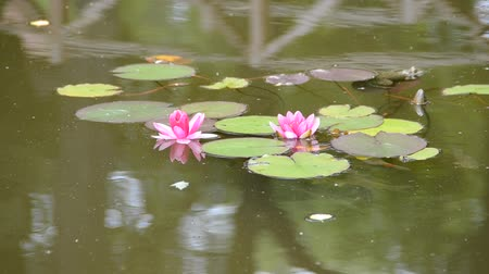 floweret : beautiful pink water lily (lotus)