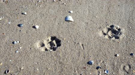 animal paws : Traces of a dog on the sand