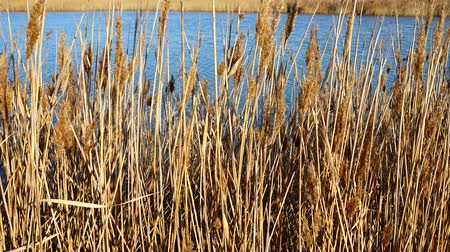 cattail : Canes against the lake