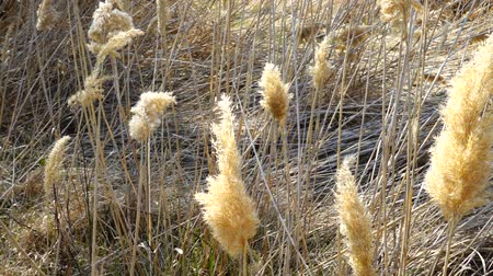 stonky : Reed on wind.