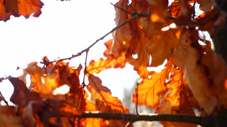 oak : Oak leaves in the autumn. Stock Footage