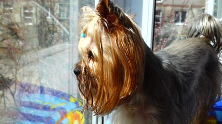 yorkie : Yorkshire terrier against the background of a window.