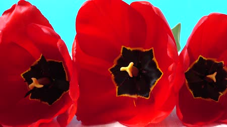 nisan : Shooting of tulips close up.